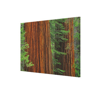 Giant Sequoia trunks in forest, Yosemite Canvas Print