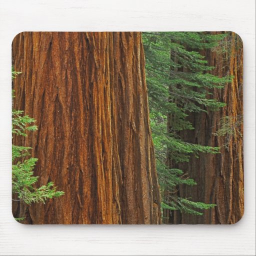 Giant Sequoia trunks in forest, Yosemite Mousepads