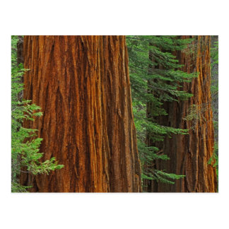 Giant Sequoia trunks in forest, Yosemite Postcard
