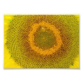 Giant Sunflower Photograph