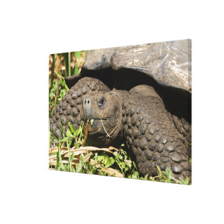 Giant Tortoise Eating | Galapagos Canvas Print