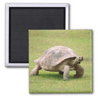 Giant Tortoise walking on grass Square Magnet