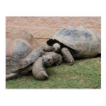 giant tortoises postcard