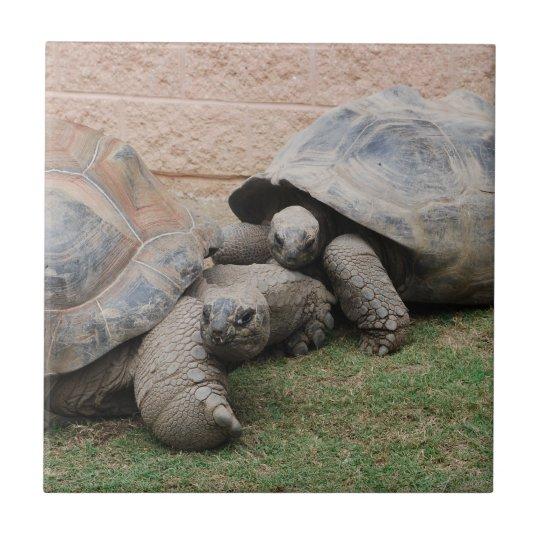 giant tortoises small square tile