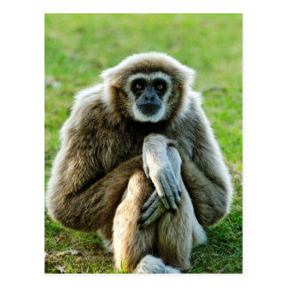 Gibbon, Let's talk about the meaning of life... Post Card