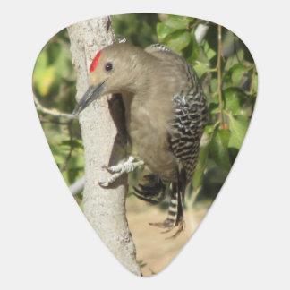 Gila Woodpecker Plectrum
