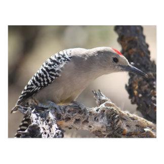 Gila Woodpecker Postcard
