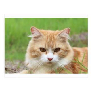 Ginger and White Cat, so cute! Postcard