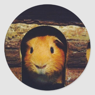 Ginger Guinea Pig Gifts Classic Round Sticker