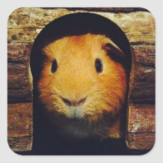 Ginger Guinea Pig Gifts Square Sticker