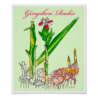 Ginger Root Watercolor Poster