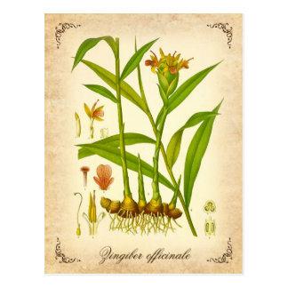 Ginger - vintage illustration postcard