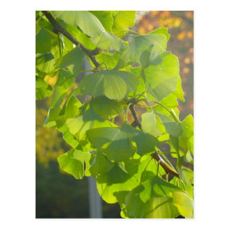 Gingko leaves in autumn sun postcard