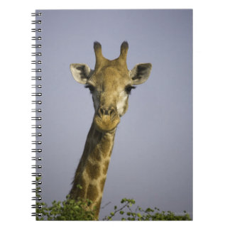 (giraffa camelopardalis), looking at camera, in notebooks