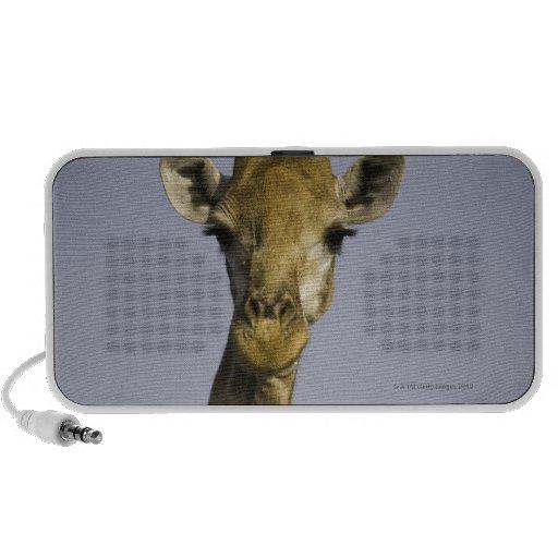 (giraffa camelopardalis), looking at camera, in travelling speaker
