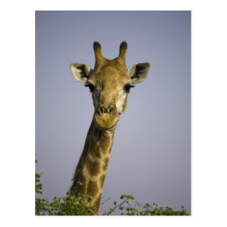 Giraffa Camelopardalis Postcard