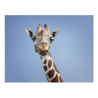 Giraffe 2 postcard