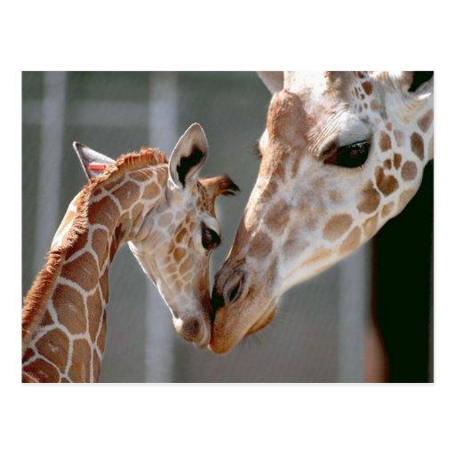 Giraffe and Baby postcard