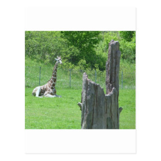Giraffe Behind a Broken Tree Stump During Summer Postcard