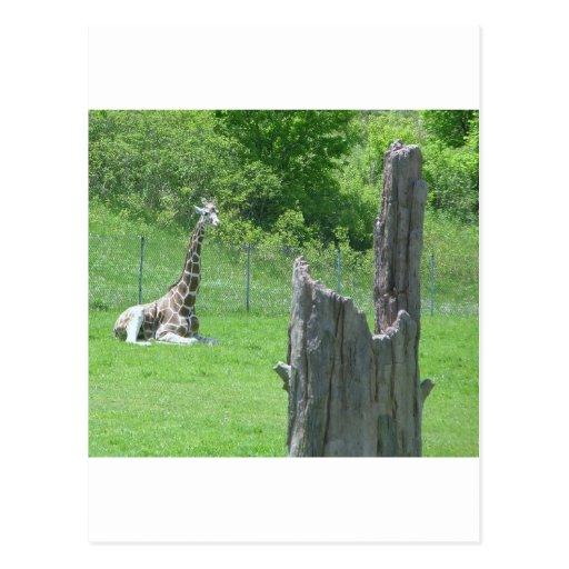 Giraffe Behind a Broken Tree Stump During Summer Postcards