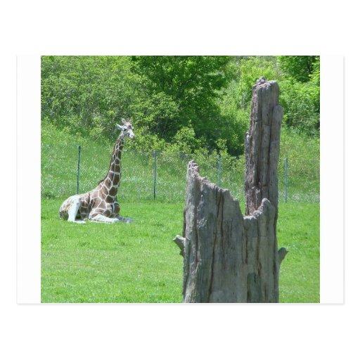 Giraffe Behind a Broken Tree Stump During Summer Postcard