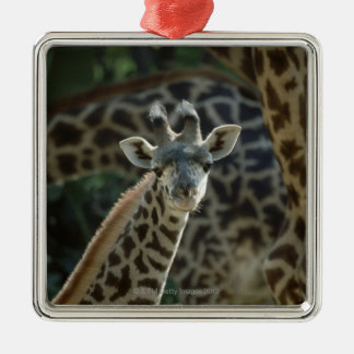 Giraffe calf with giraffes christmas ornament