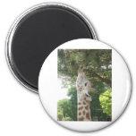 Giraffe Eating Leaf Refrigerator Magnet