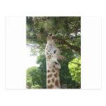 Giraffe Eating Postcards