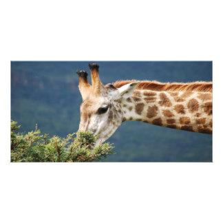 Giraffe eating some leaves photo card