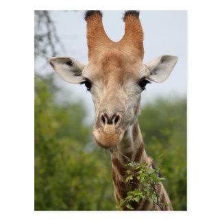 Giraffe Face Postcard
