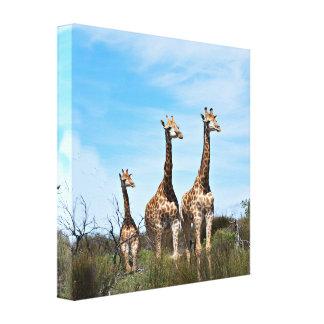 Giraffe Family On Grassy Hilltop Canvas Print