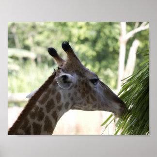 Giraffe Foraging Poster