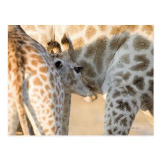 Giraffe (Giraffa camelopardalis) calf suckling, Postcard