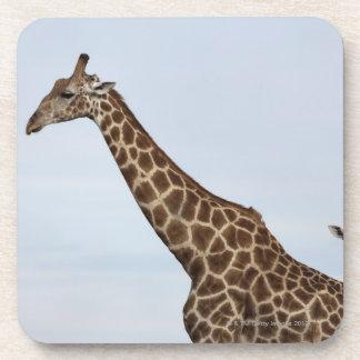 Giraffe (Giraffa camelopardalis), Chobe National Coaster