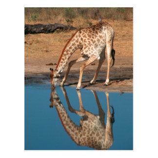 Giraffe (Giraffa Camelopardalis) Drinking Postcard