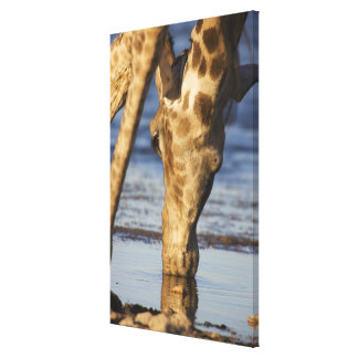 Giraffe (Giraffa Camelopardalis) drinking water Canvas Print