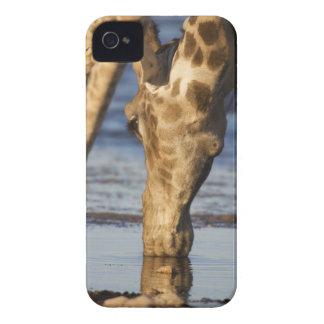 Giraffe (Giraffa Camelopardalis) drinking water Case-Mate iPhone 4 Case