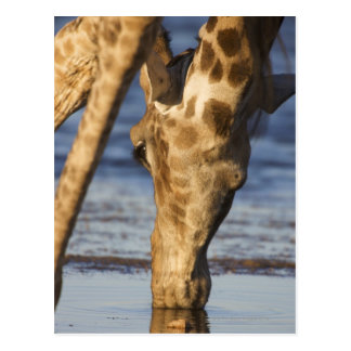Giraffe (Giraffa Camelopardalis) drinking water Postcard