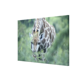 Giraffe (Giraffa camelopardalis) feeding on Canvas Print