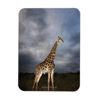 Giraffe (Giraffa camelopardalis) in dramatic Rectangular Photo Magnet