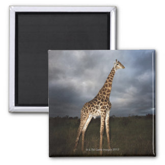 Giraffe (Giraffa camelopardalis) in dramatic Square Magnet