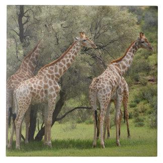Giraffe, Giraffa camelopardalis, Kgalagadi 2 Tile