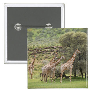 Giraffe, Giraffa camelopardalis, Kgalagadi 3 15 Cm Square Badge