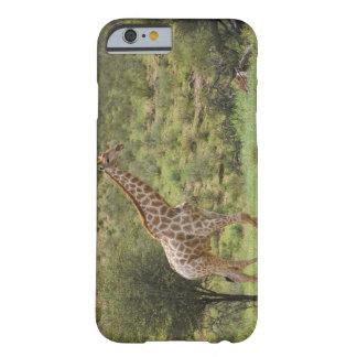 Giraffe, Giraffa camelopardalis, Kgalagadi Barely There iPhone 6 Case