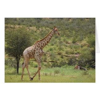 Giraffe, Giraffa camelopardalis, Kgalagadi Card