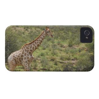 Giraffe, Giraffa camelopardalis, Kgalagadi Case-Mate iPhone 4 Cases