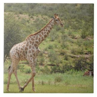 Giraffe, Giraffa camelopardalis, Kgalagadi Tile