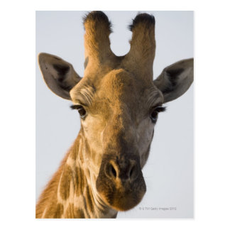 Giraffe (Giraffa camelopardalis) portrait, Imire Postcard