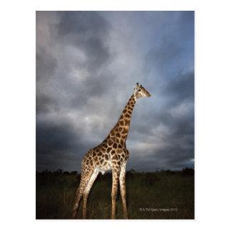 Giraffe (Giraffa camelopardalis) Postcard