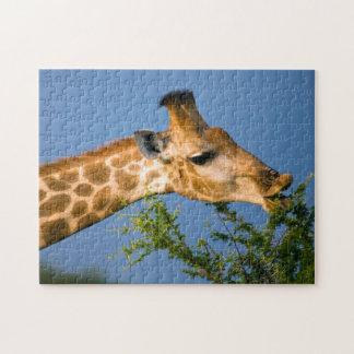 Giraffe (Giraffe Camelopardalis) Feeding Jigsaw Puzzle